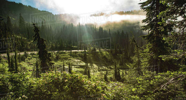Scenic view of trees growing Mount Rainier National Park during sunrise Royalty-free stock photo