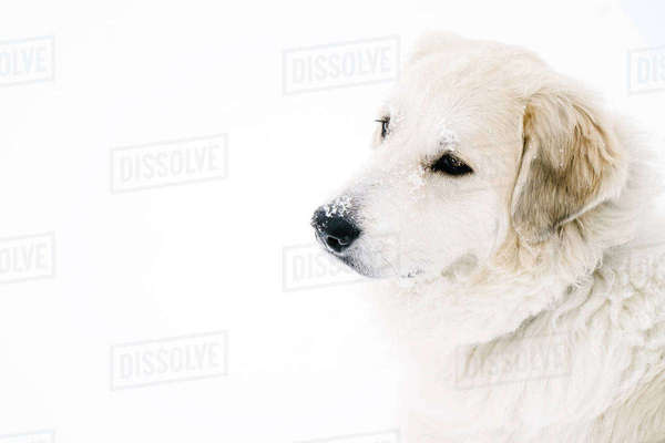 High angle view of Golden Retriever relaxing on snow covered field Royalty-free stock photo