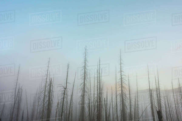 Low angle view of bare trees against clear sky during foggy weather Royalty-free stock photo