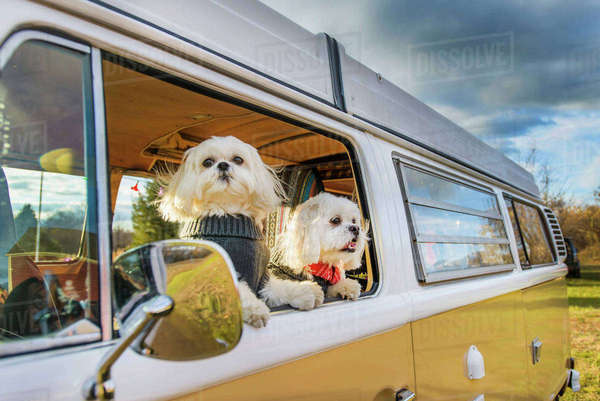 Shih Tzu looking through window while traveling in motor home Royalty-free stock photo
