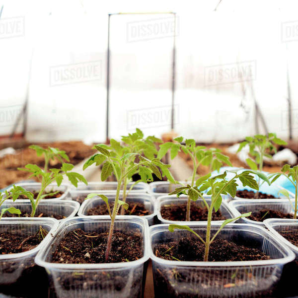 Close-up of seedlings in containers arranged at plant nursery Royalty-free stock photo