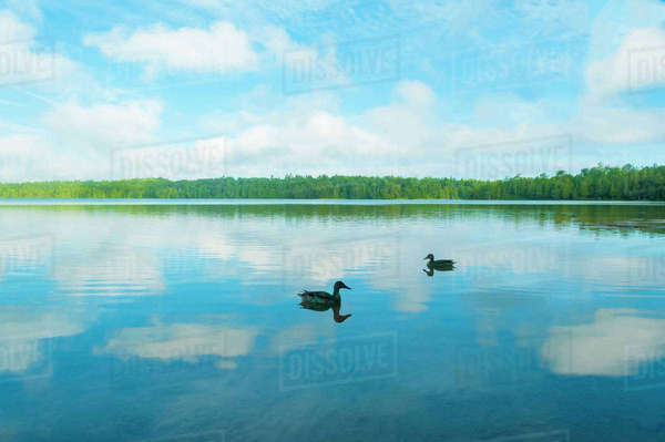 Ducks swimming on calm lake against cloudy sky Royalty-free stock photo