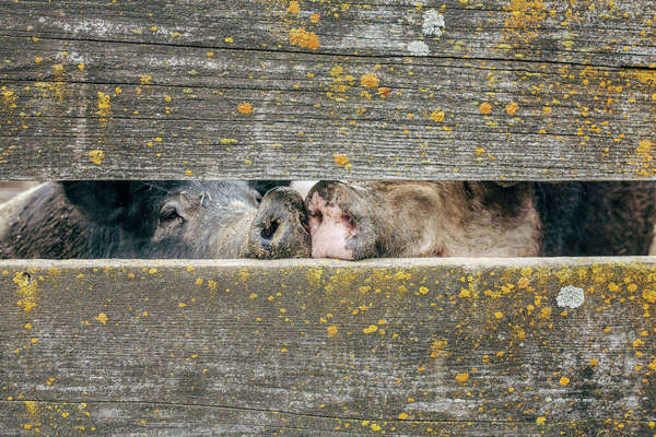 View of pig's snouts seen through wooden fence Royalty-free stock photo