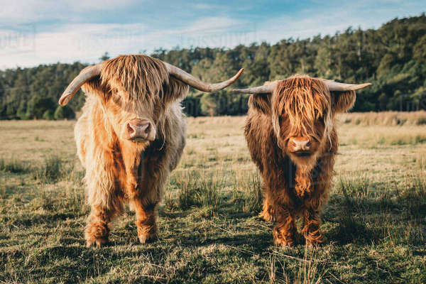 Portrait of highland cattles at grassy field against sky Royalty-free stock photo