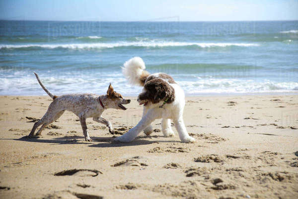 Dogs fighting at beach against sea and sky Royalty-free stock photo