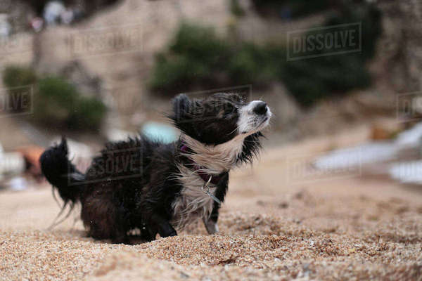 Dog shaking while standing at beach Royalty-free stock photo