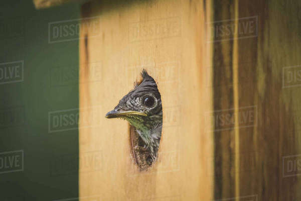 Close-up of bird peeking from wooden birdhouse Royalty-free stock photo