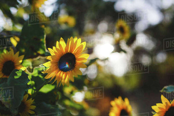 Close-up of sunflowers blooming at park Royalty-free stock photo