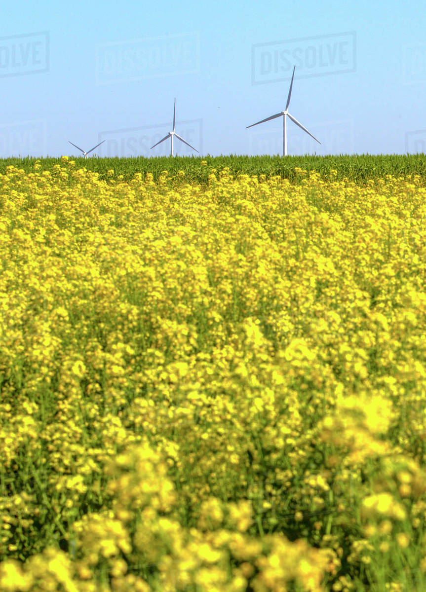 Yellow flowers growing on field against wind turbines stock photo yellow flowers growing on field against wind turbines mightylinksfo