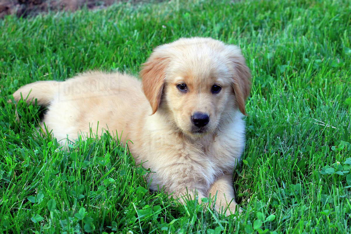 Portrait of cute Golden Retriever puppy lying on grassy field at park stock  photo