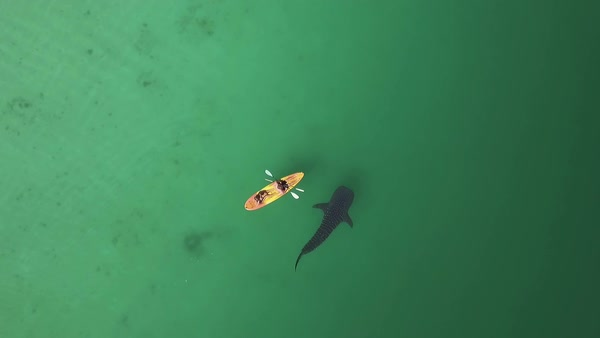 Aerial shot of a paddle board floating next to a swimming whale shark Royalty-free stock video