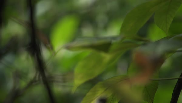Hand-held shot of tree leaves swaying in breeze Royalty-free stock video