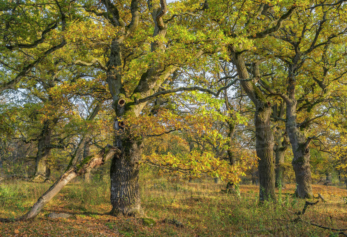Sweden Uppland Norrmalma View Of Oak Trees In Autumn