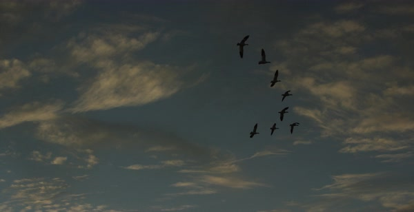 Tracking shot of snow geese flying in formation Royalty-free stock video