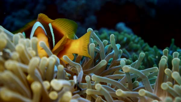 Close shot of clownfish in anemone, Red Sea Royalty-free stock video