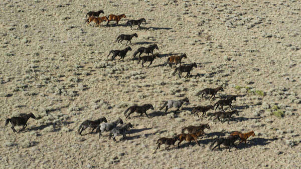Wild mustangs running in landscape Royalty-free stock photo