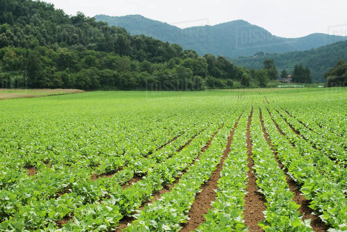 Rows Of Green Plants In Farm Field