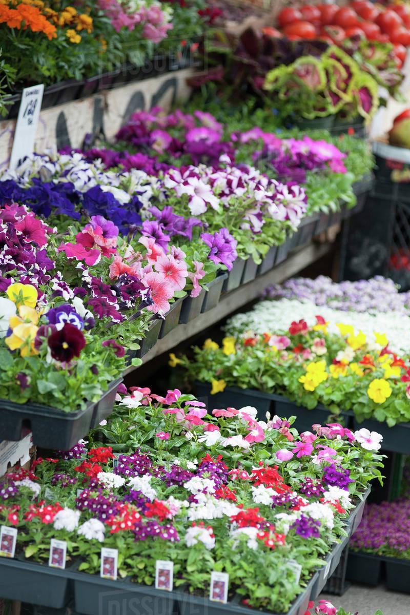 Potted flowers in market & Potted flowers in market - Stock Photo - Dissolve