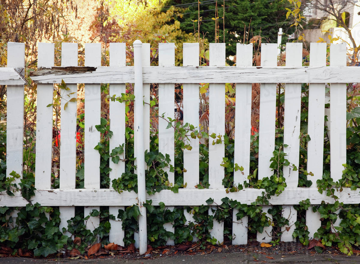 A White Wooden Picket Fence With Climbing Plants Stock Photo