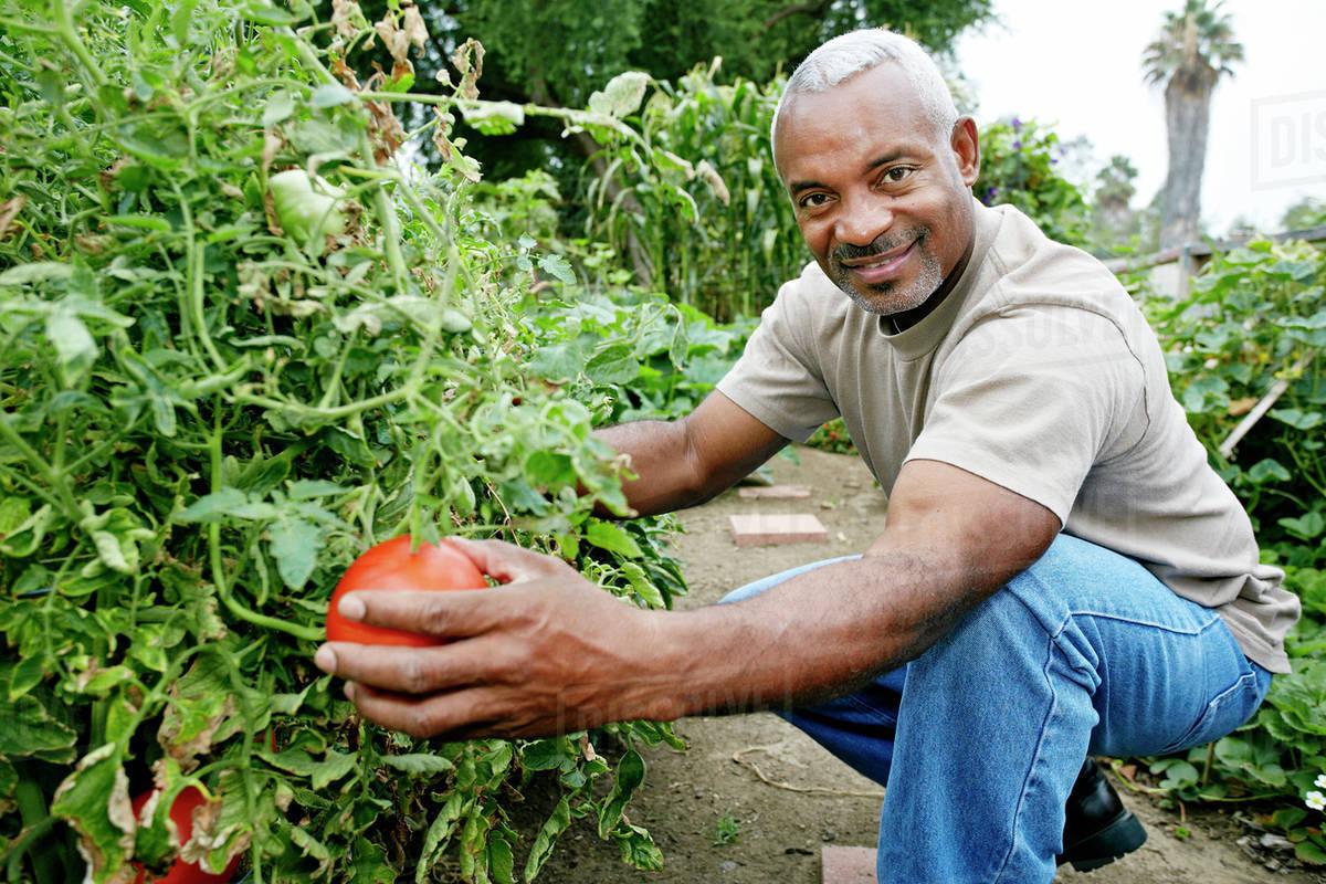 Black man picking tomatoes in community garden - Stock Photo - Dissolve