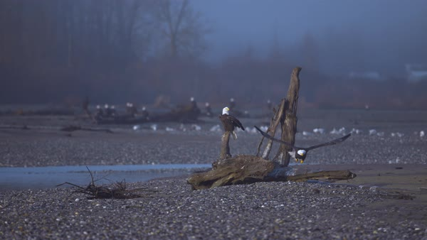 Wide shot of bald eagle taking off from driftwood Rights-managed stock video