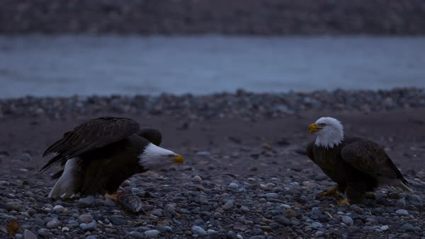 Slow motion shot of two bald eagles fighting over prey Rights-managed stock video