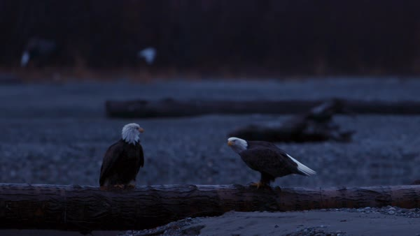 Slow motion shot of two bald eagles on driftwood Rights-managed stock video