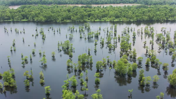 Aerial shot of trees standing in water in Louisiana Rights-managed stock video
