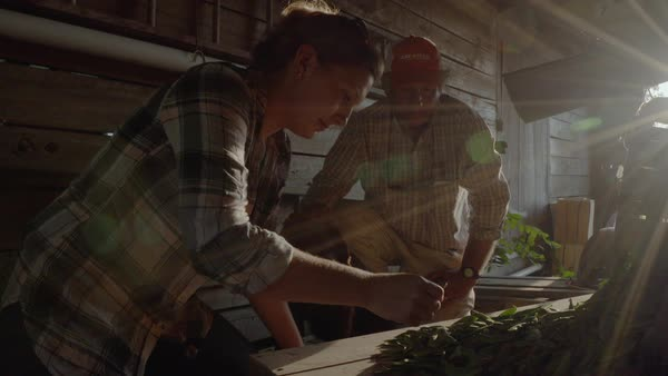 Hand-held shot of farmers examining harvested peas in a barn Royalty-free stock video