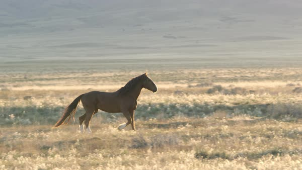 Wild horse runs through a field and past the sun peaking over mountain top. Royalty-free stock video