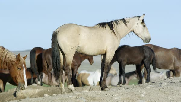 View of wild horse standing on dirt pile as others walk by. Royalty-free stock video