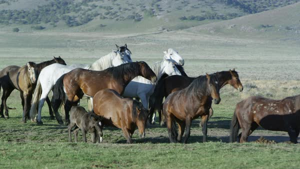 Small group of wild horses moving together across the vast landscape. Royalty-free stock video