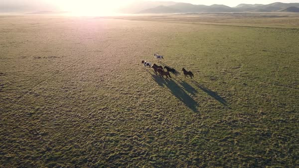 Aerial view of small horse herd running across the landscape at sunrise. Royalty-free stock video