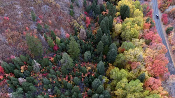 Top down  aerial view of vehicle driving on road through colorful forest in fall. Royalty-free stock video
