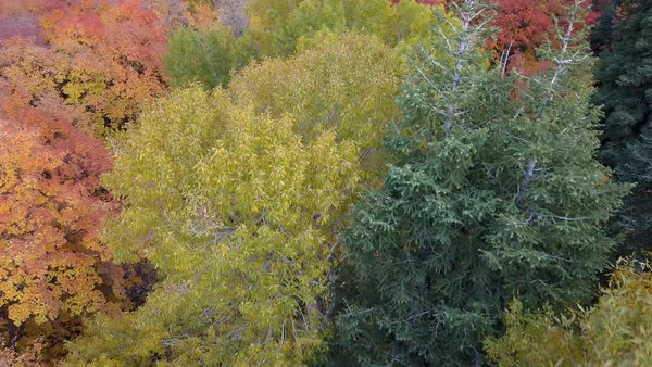Flying over tree tops view colorful fall foliage throughout the forest Royalty-free stock video