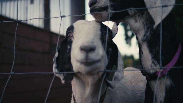 A pair of goats behind a fence on a farm Royalty-free stock video