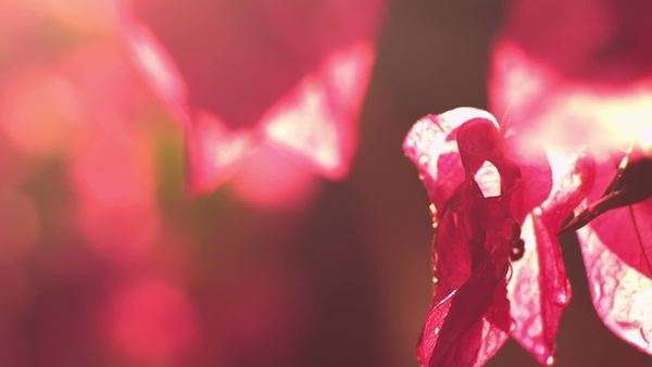 A close-up of a pink flower Royalty-free stock video