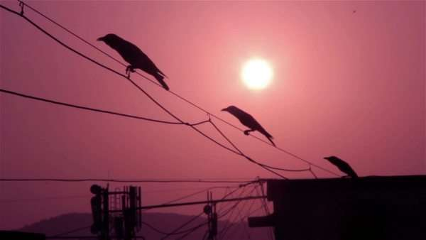 crows on the cable silhouetted against morning sun Royalty-free stock video