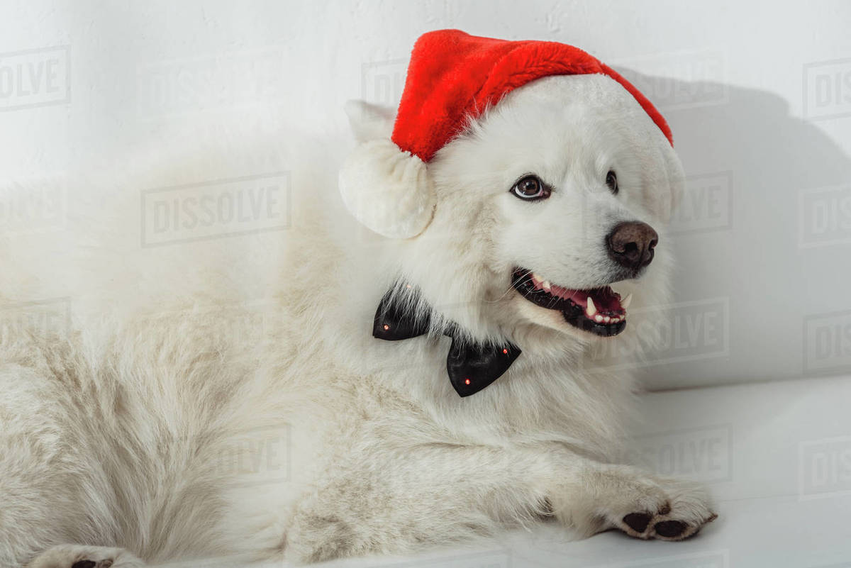 Adorable Furry Samoyed Dog In Santa Hat And Bow Tie Looking Away Stock Photo Dissolve