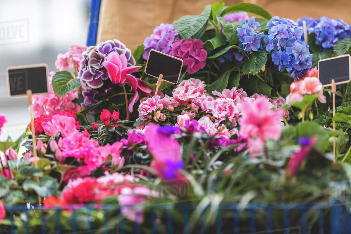 Pink And Blue Blooming Flowers In Pots With Empty Tags Stock
