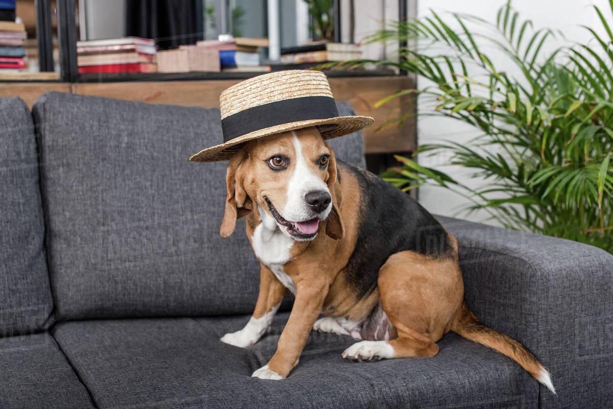 funny beagle dog in straw hat sitting on sofa - Stock Photo - Dissolve