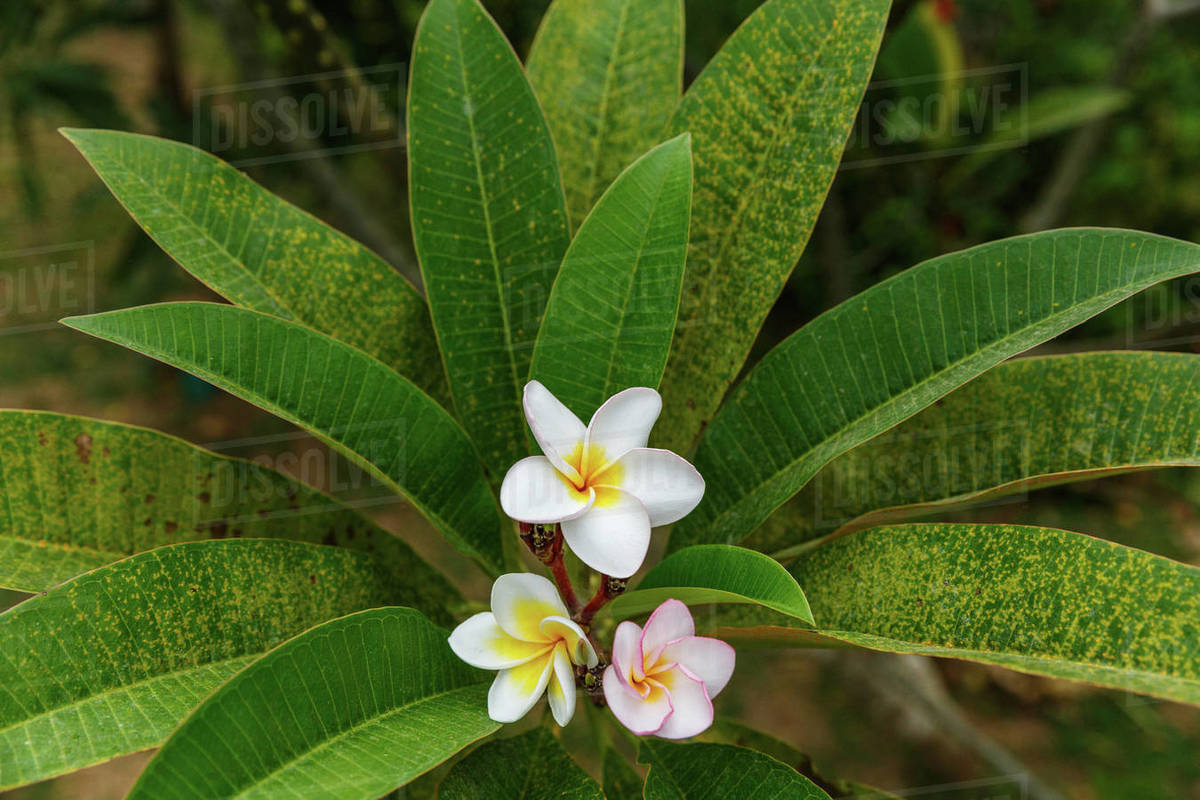 Close Up View Of Beautiful Wild Flower With Green Leaves Sri Lanka