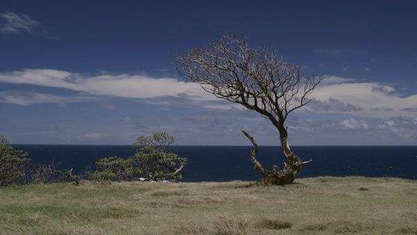 Wide shot of a dry tree on a Hawaiian coast Royalty-free stock video