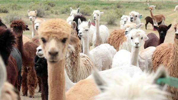 Alpaca livestock animal herd Utah farm ranch. Farm and ranch herd of domestic livestock Alpaca, Llama family. Royalty-free stock video