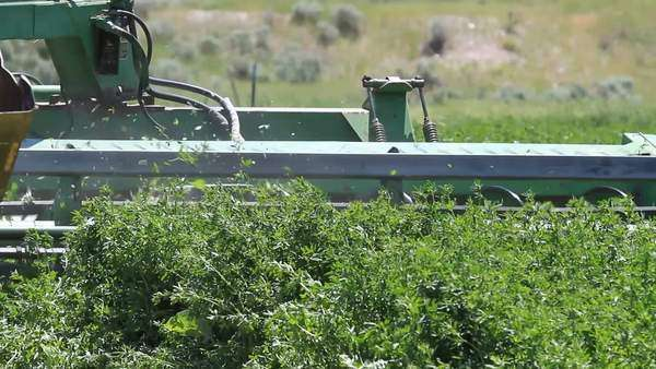 Farm tractor cutting and harvest alfalfa Lucerne hay for livestock and cattle food. Cutting the green crop by an old tractor.  Royalty-free stock video