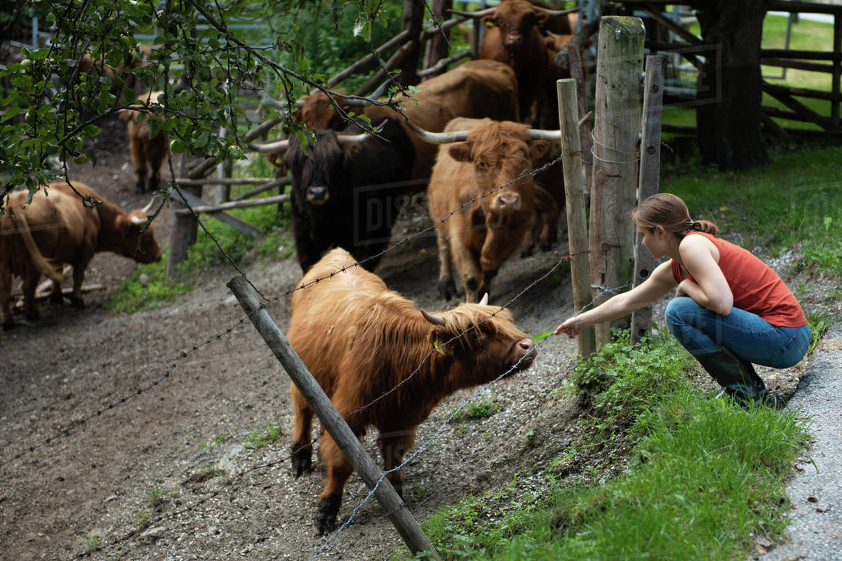 Woman feeding a young highland cow through the fence Royalty-free stock photo