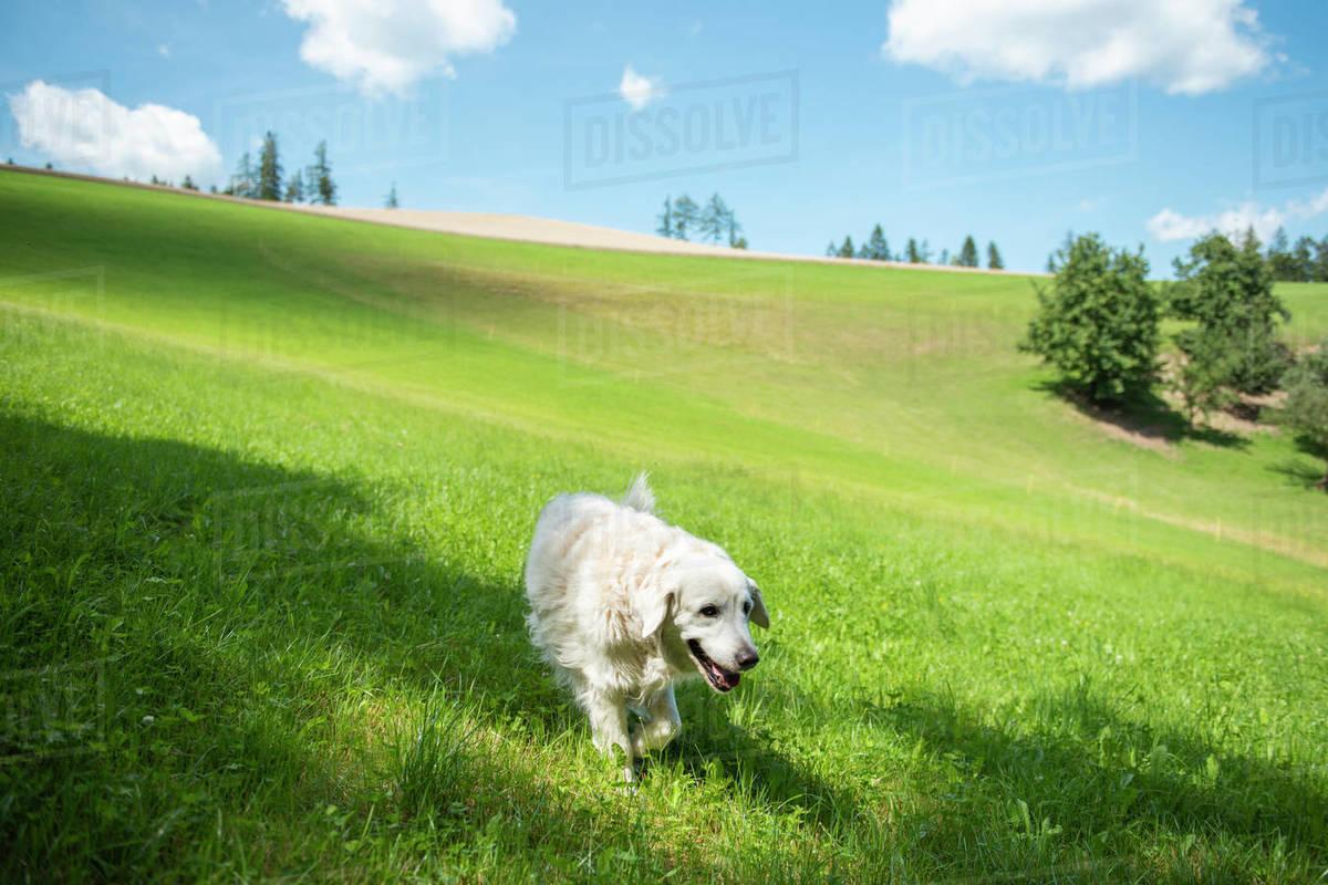 Golden retriever walking alone in grass field  Royalty-free stock photo