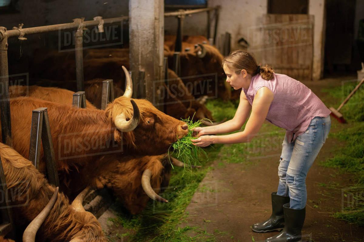 Female farmer feeding by fresh grass to highland cows on farm Royalty-free stock photo