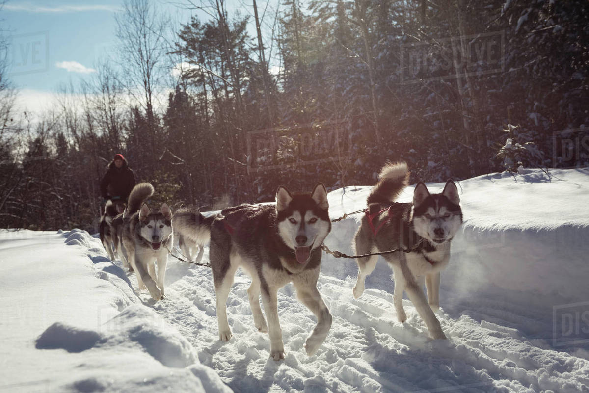 group of siberian dog pulling sleigh carrying man stock photo