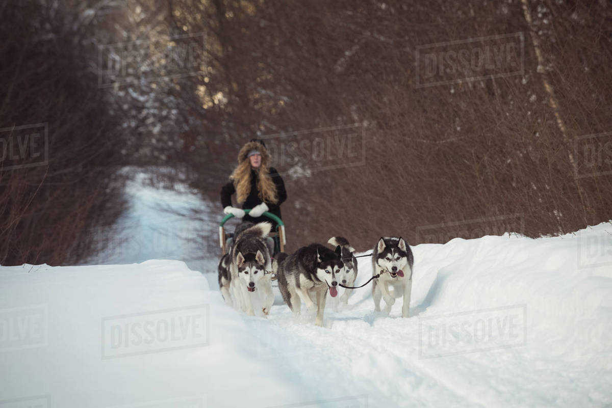 group of siberian dog pulling sleigh carrying woman stock photo